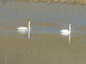 Swans 03.26.2014 001 b